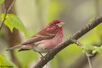 Purplefinch01